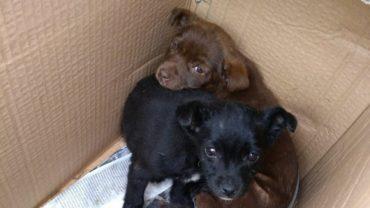 cucciole-con-rogna-abbandonate-in-una-scatola-1600x1200