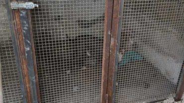sequestro-napoli-pitbull-allevamento-5