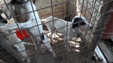 roma-sequestro-11-cani-14