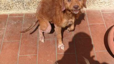 guardie-arezzo-cani-rogna-2