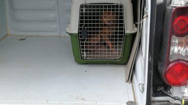 guardie-arezzo-cani-rogna-5